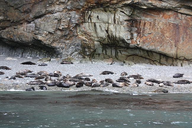 ramsey island zeehonden